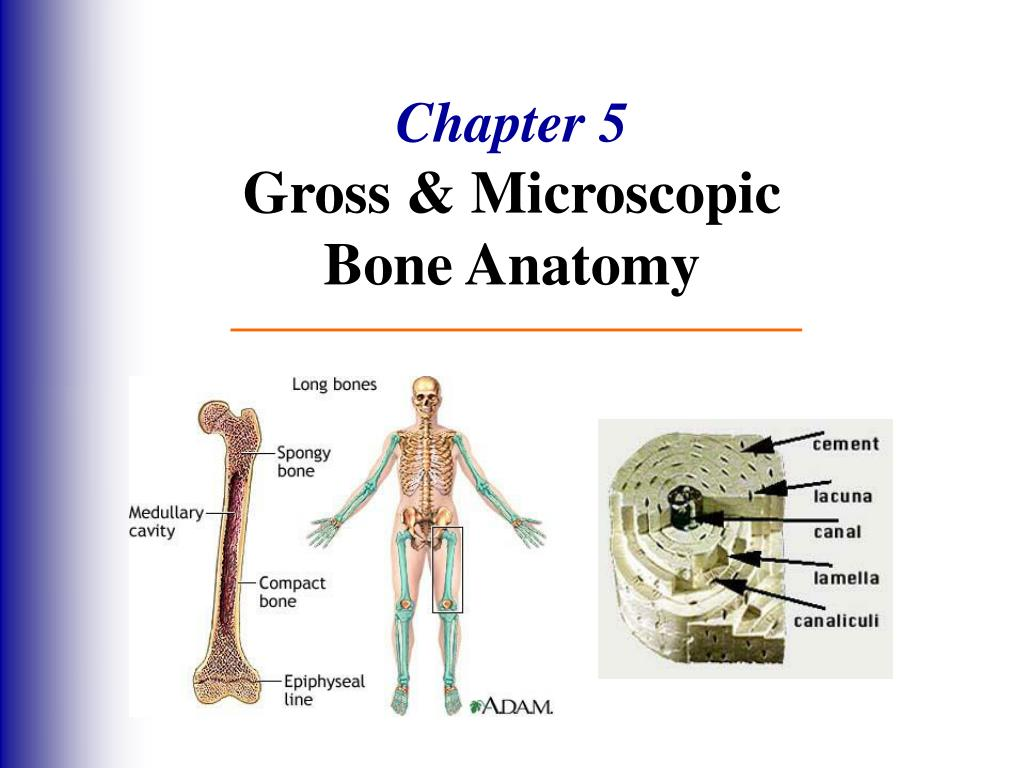 PPT - Chapter 5 Gross & Microscopic Bone Anatomy PowerPoint ...