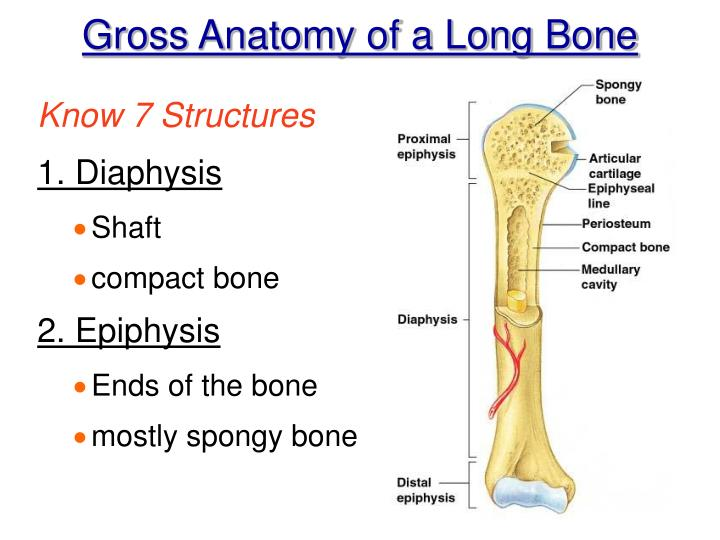 Ppt Chapter 5 Gross Microscopic Bone Anatomy Powerpoint