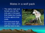 mates in a wolf pack