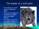 the leader of a wolf pack