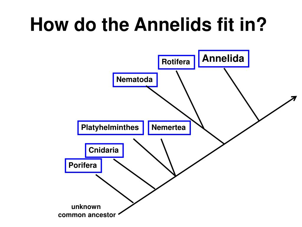 how do the annelids fit in l.