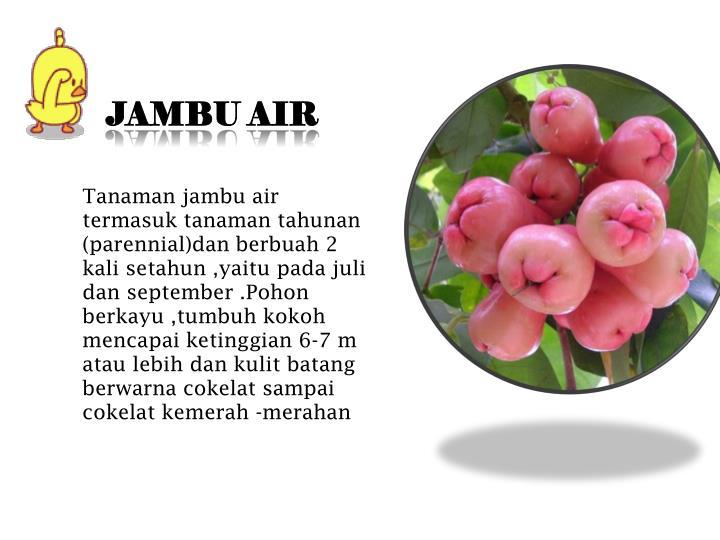 Jambu air