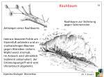 rauhbaum