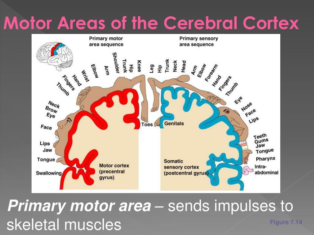 Motor Areas of the Cerebral Cortex