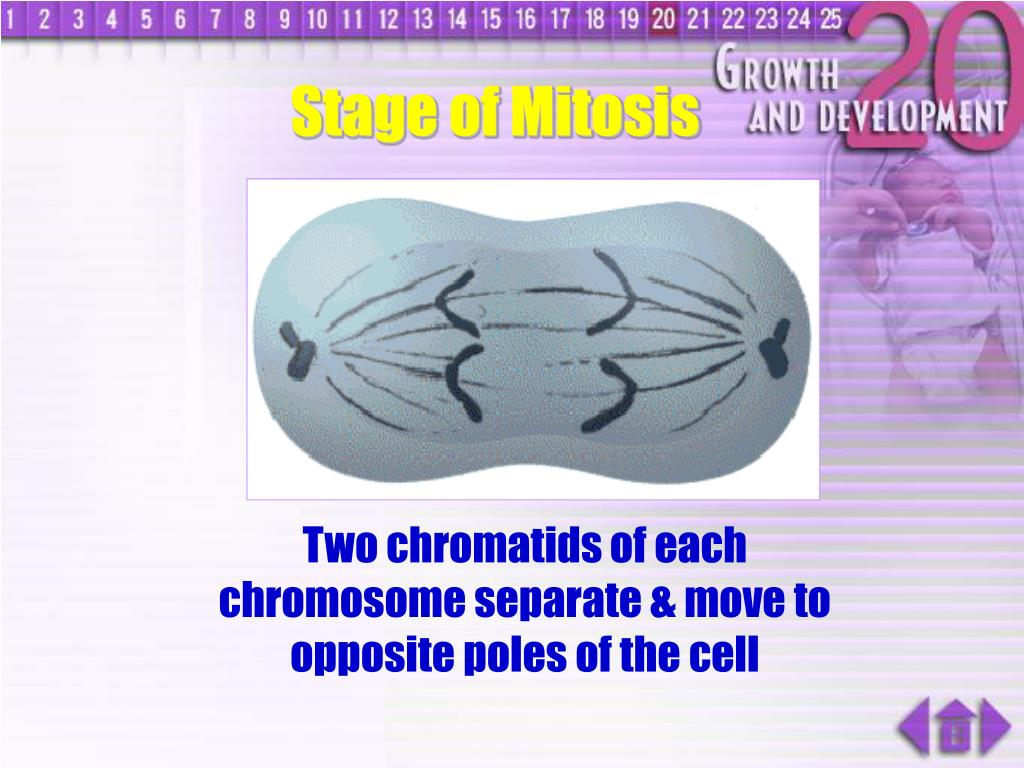 Stage of Mitosis