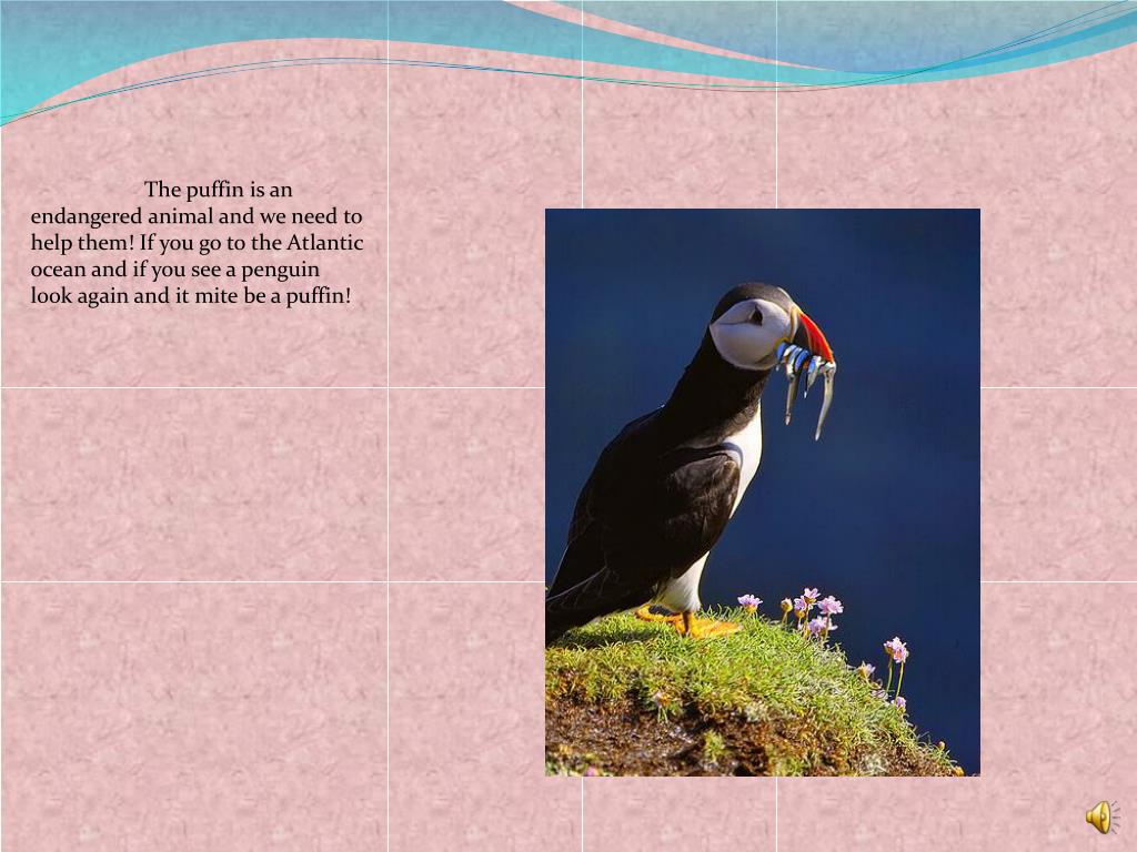 The puffin is an  endangered animal and we need to help them! If you go to the Atlantic ocean and if you see a penguin look again and it mite be a puffin!