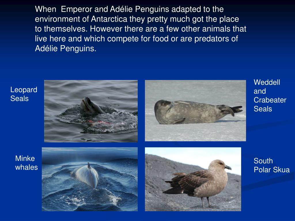 When  Emperor and Adélie Penguins adapted to the environment of Antarctica they pretty much got the place to themselves. However there are a few other animals that live here and which compete for food or are predators of Adélie Penguins.