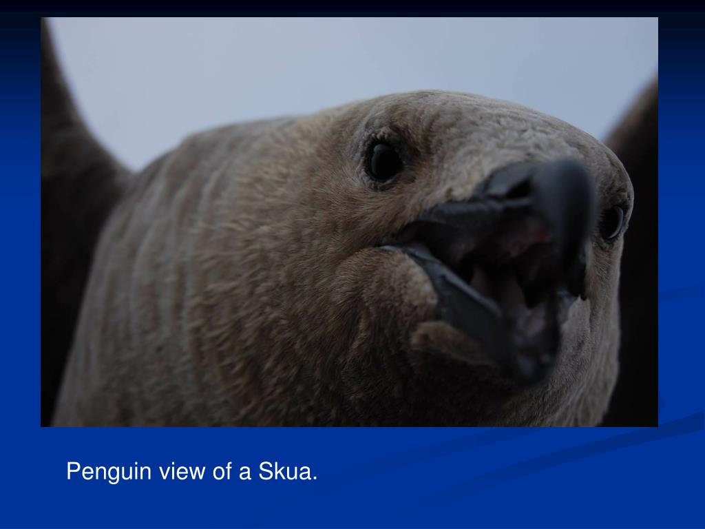 Penguin view of a Skua.