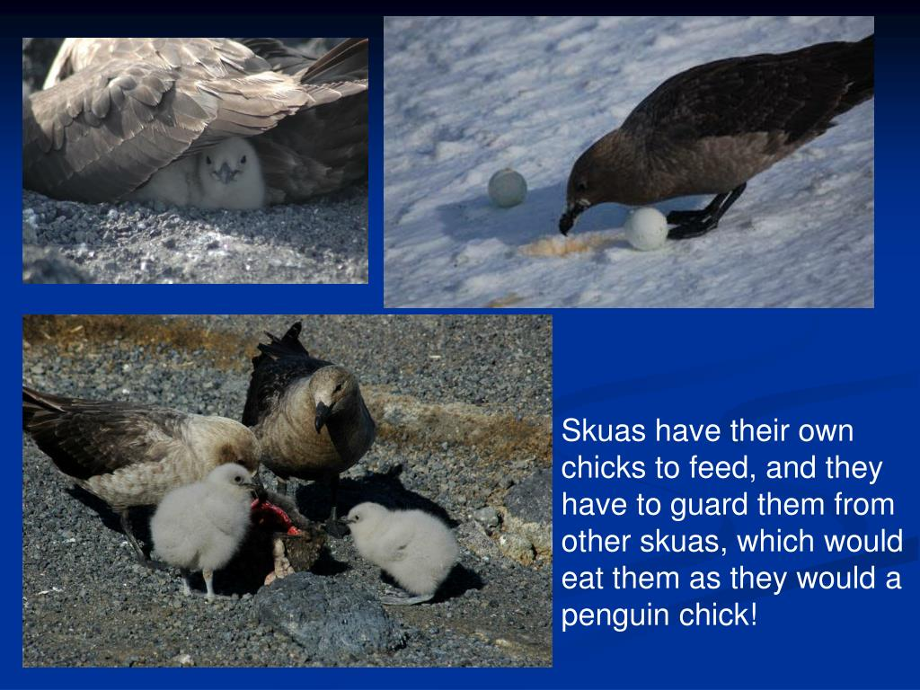 Skuas have their own chicks to feed, and they have to guard them from other skuas, which would eat them as they would a penguin chick!