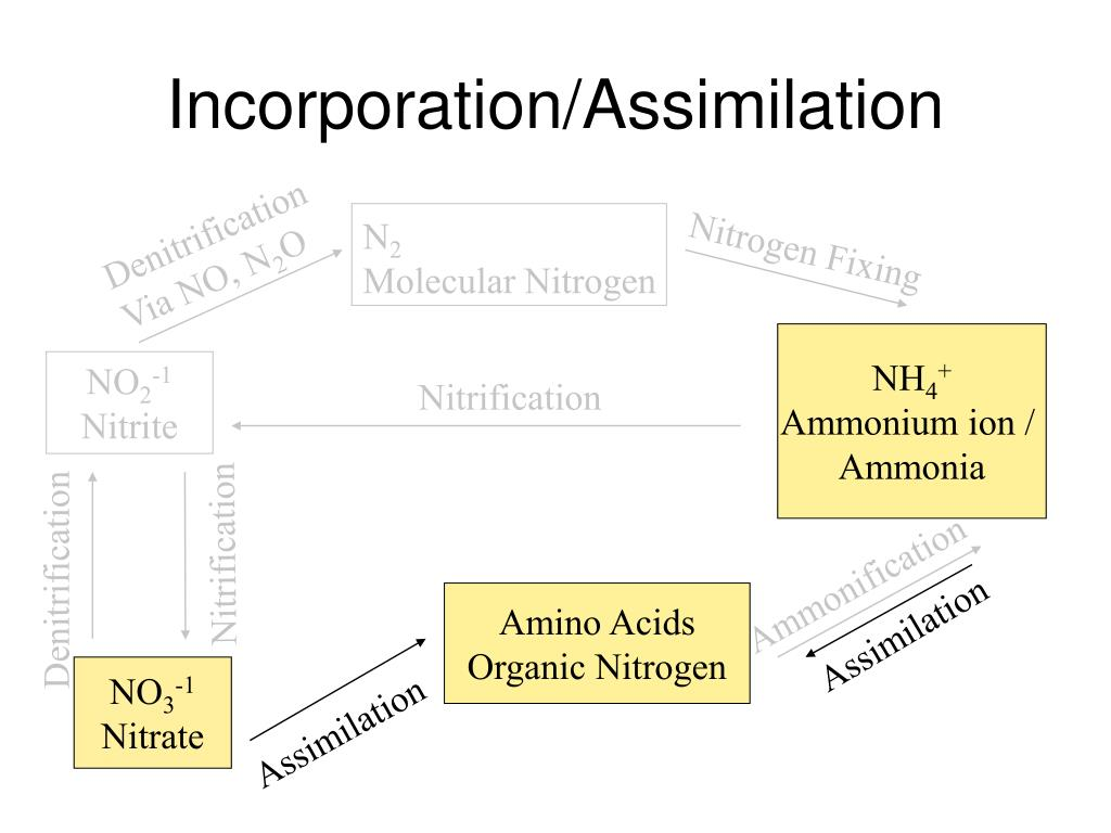 Incorporation/Assimilation