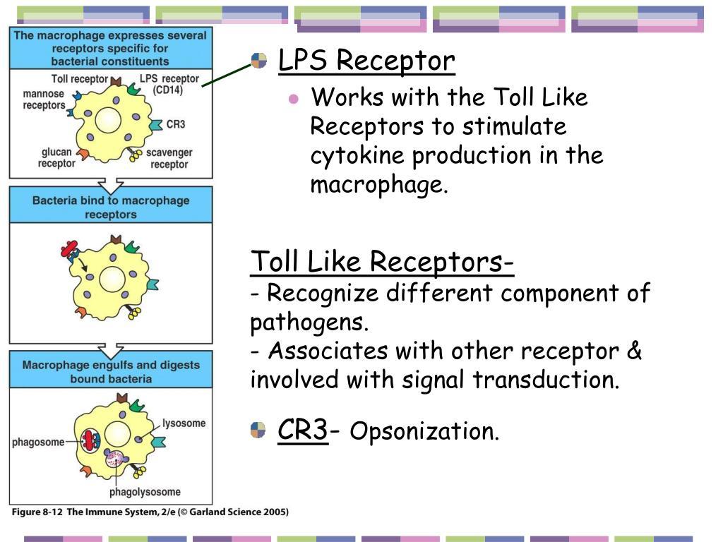 LPS Receptor