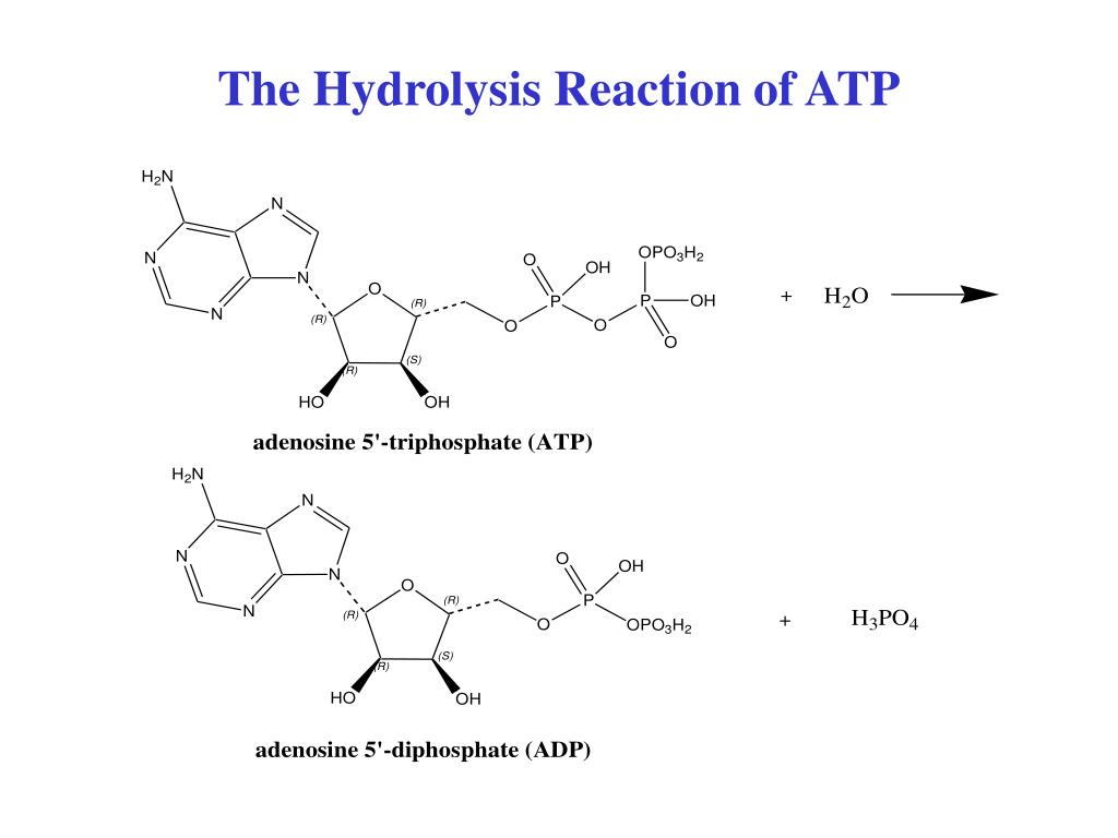 The Hydrolysis Reaction of ATP