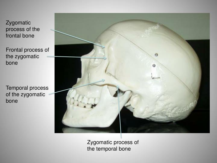 Ppt Lab Exercise The Axial Skeleton Skull Virtual Lab Powerpoint