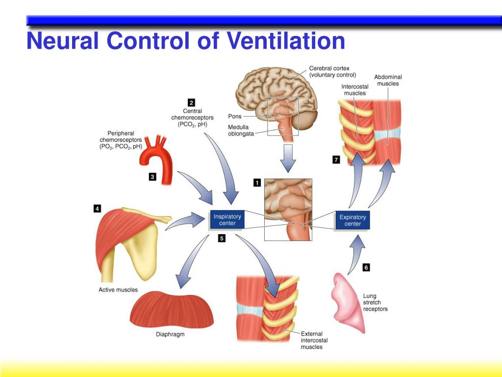 Neural Control of Ventilation