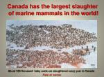 canada has the largest slaughter of marine mammals in the world