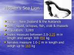 hooker s sea lion