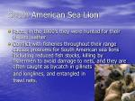 south american sea lion5