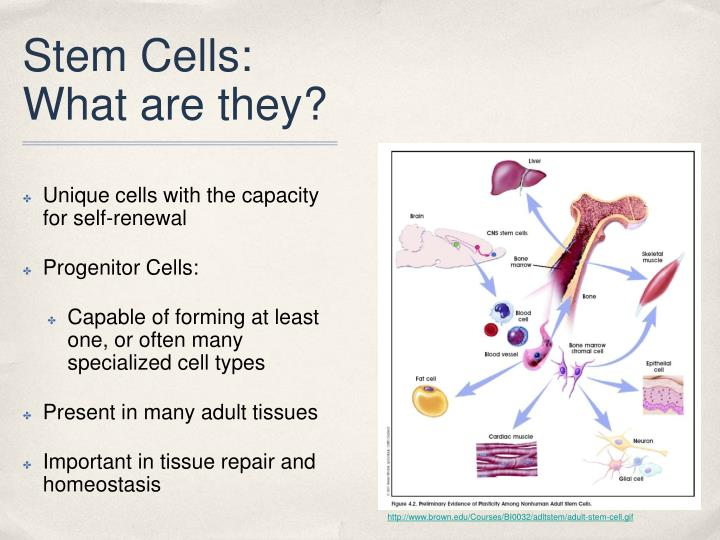 Stem cells what are they