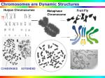 chromosomes are dynamic structures