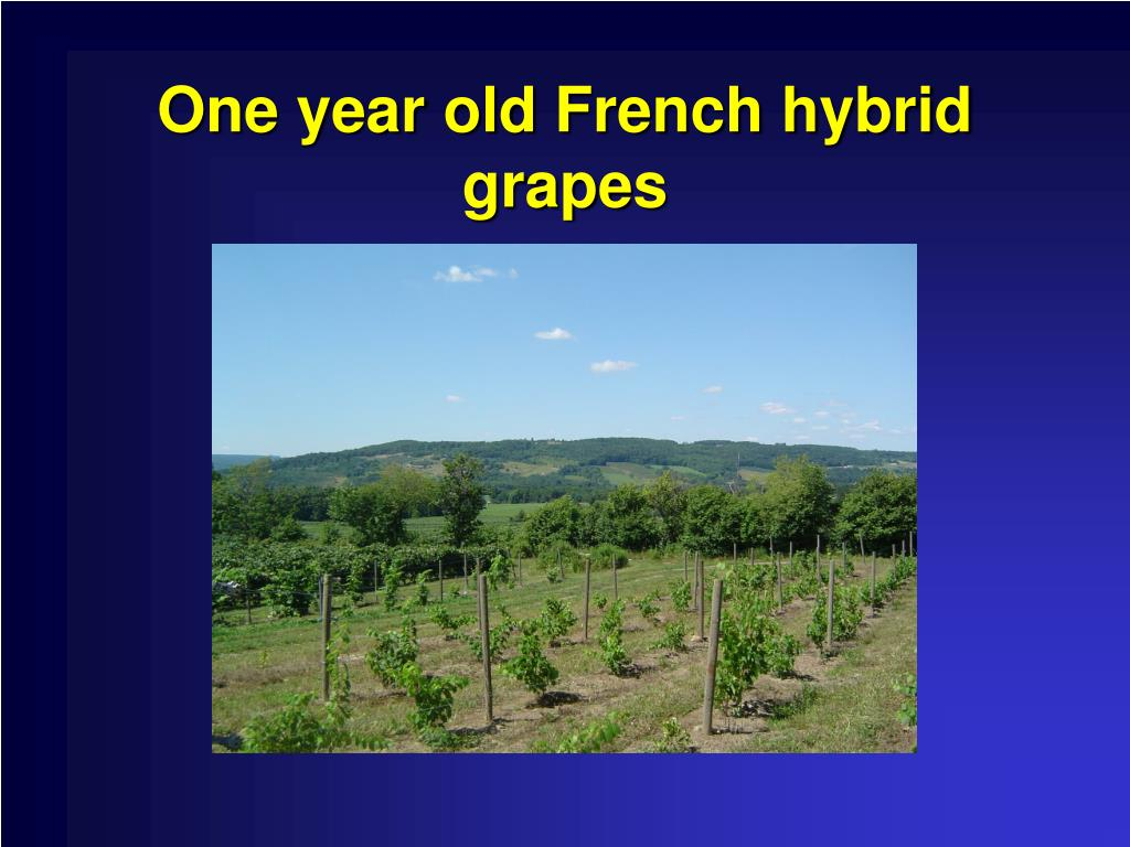 One year old French hybrid grapes