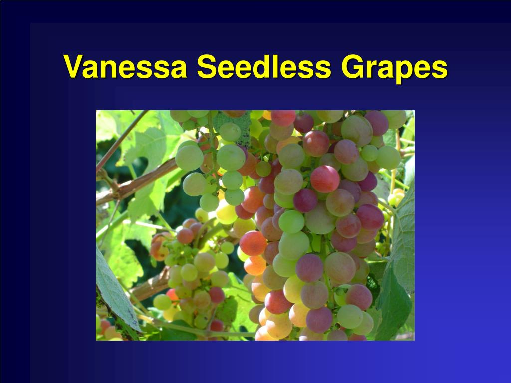 Vanessa Seedless Grapes
