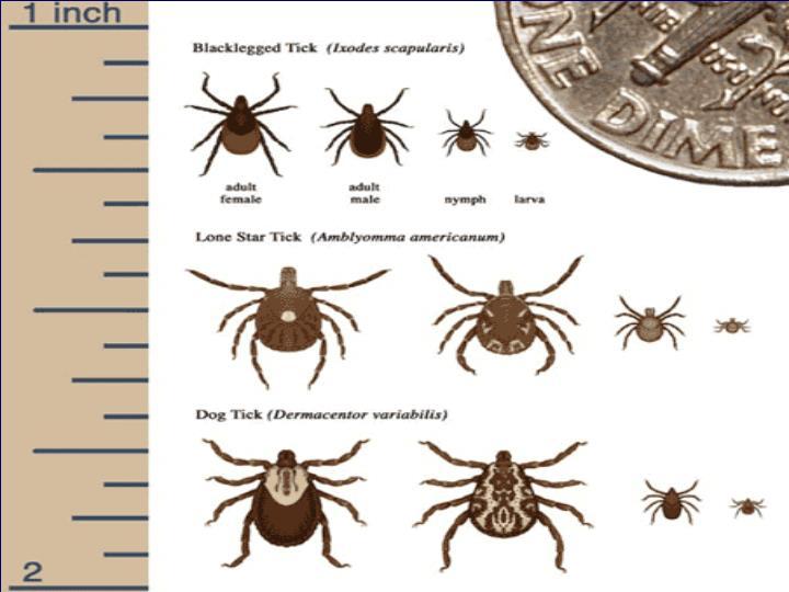 Tick borne infections