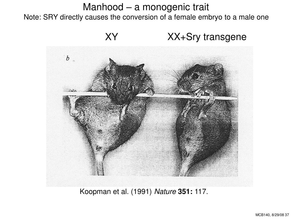 Manhood – a monogenic trait