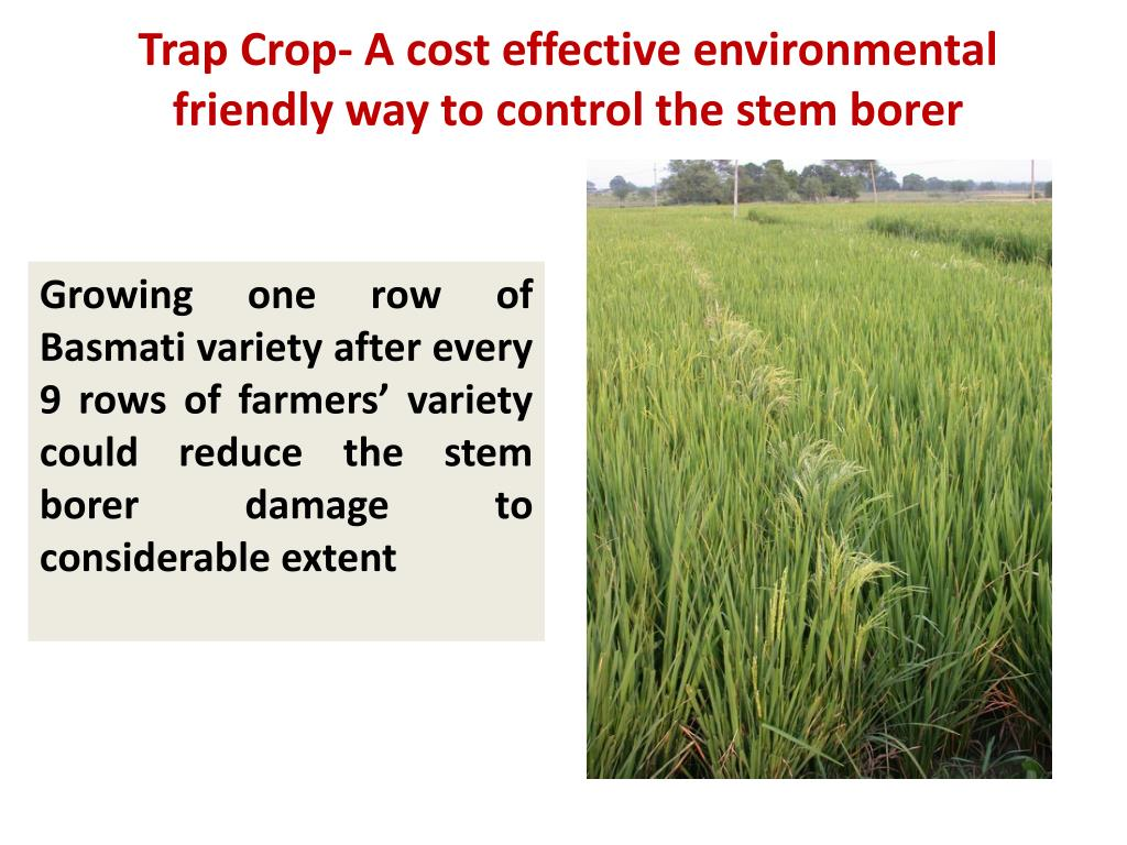 Trap Crop- A cost effective environmental friendly way to control the stem borer