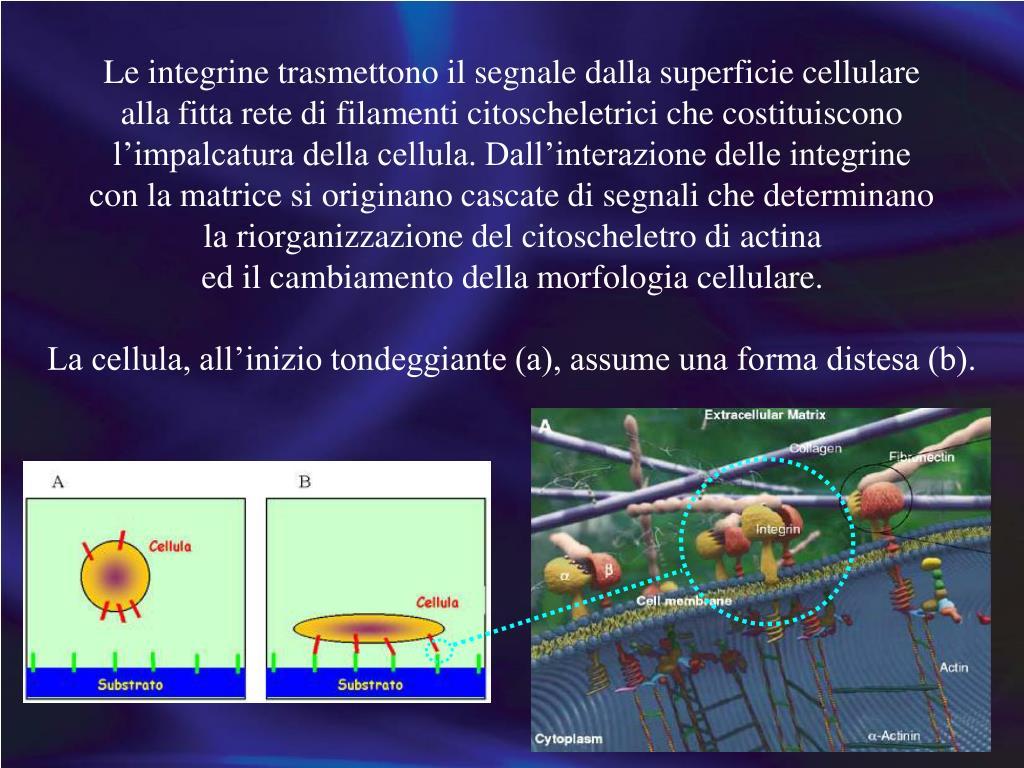 Le integrine trasmettono il segnale dalla superficie cellulare