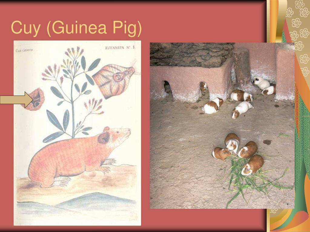 Cuy (Guinea Pig)