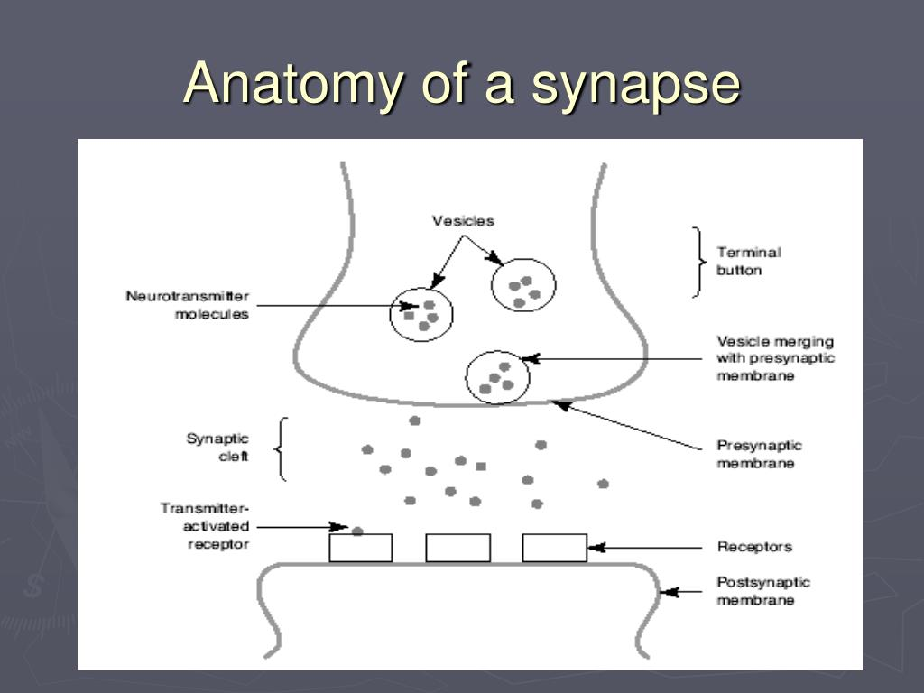 Anatomy of a synapse