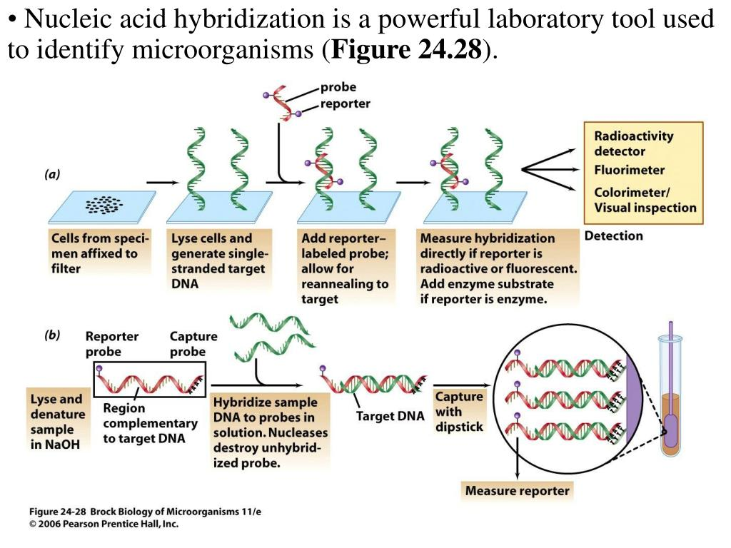 Nucleic acid hybridization is a powerful laboratory tool used to identify microorganisms (