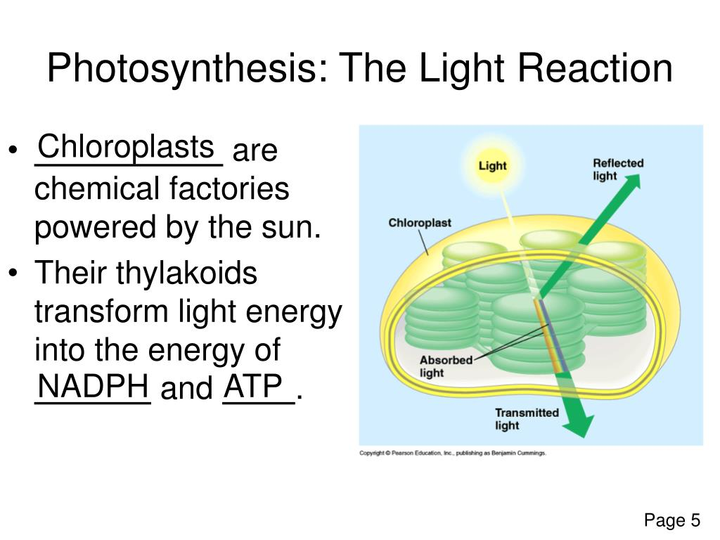 Photosynthesis: The Light Reaction