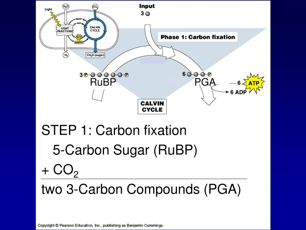 STEP 1: Carbon fixation