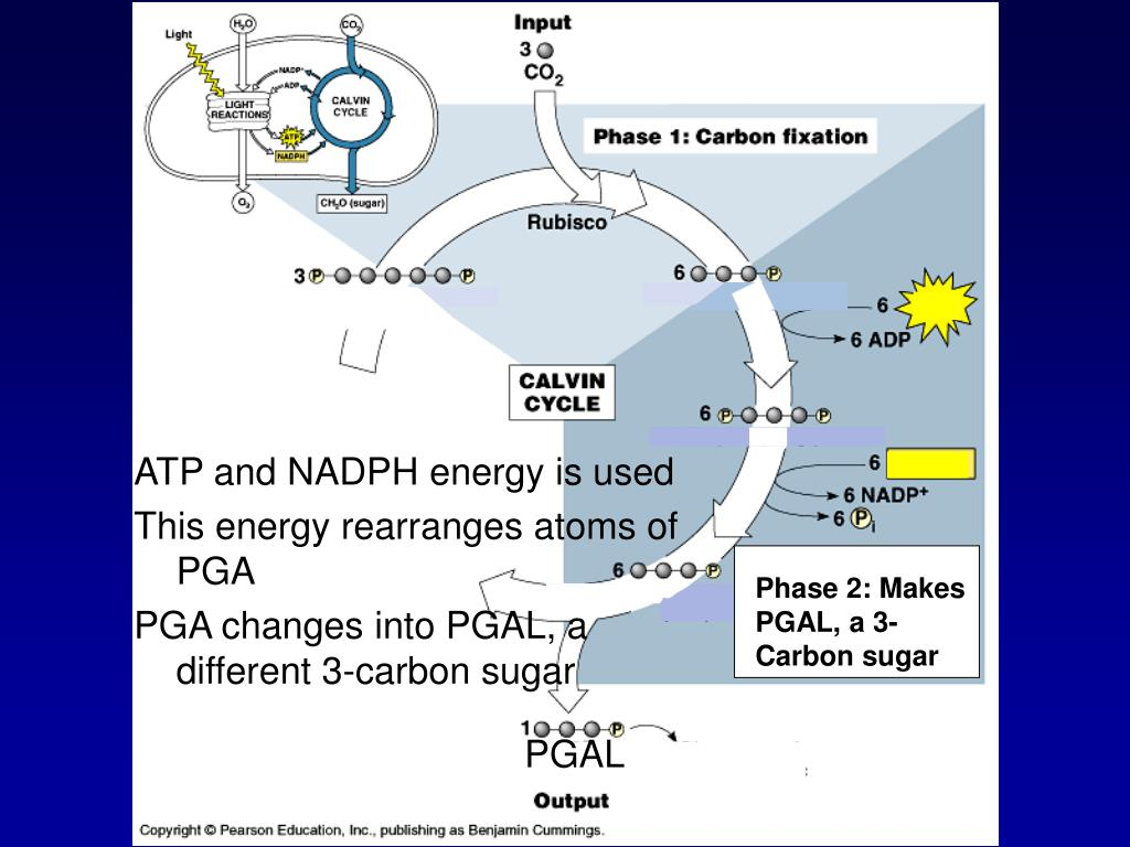 ATP and NADPH energy is used
