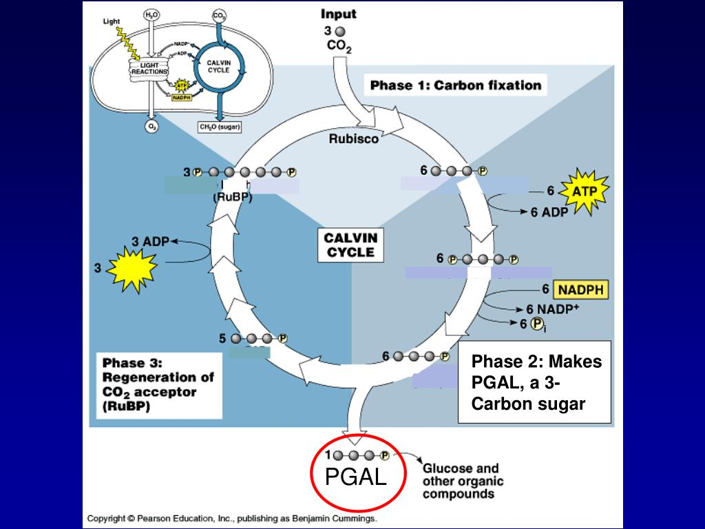 Phase 2: Makes PGAL, a 3-Carbon sugar