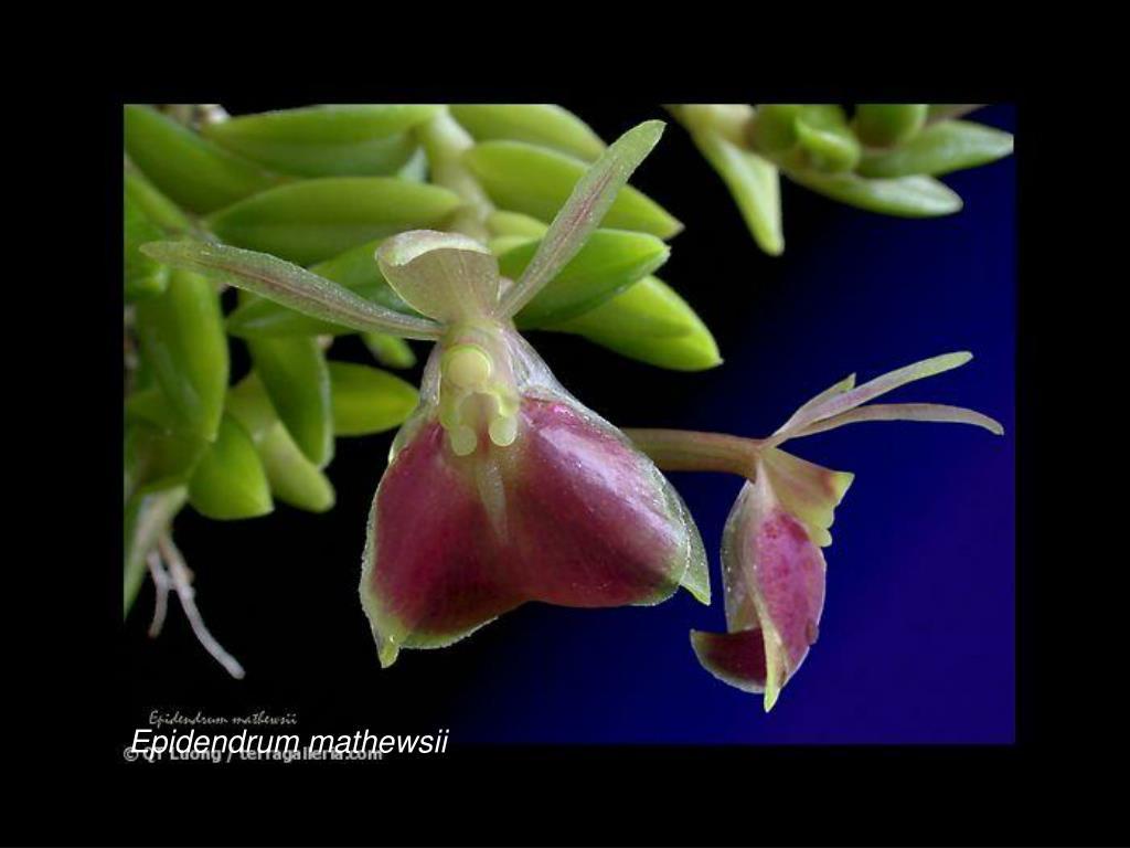 Epidendrum mathewsii
