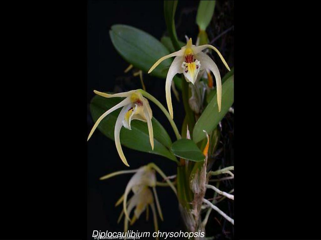 Diplocaulibium chrysohopsis