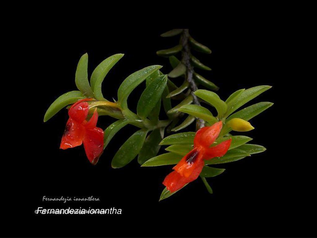 Fernandezia ionantha