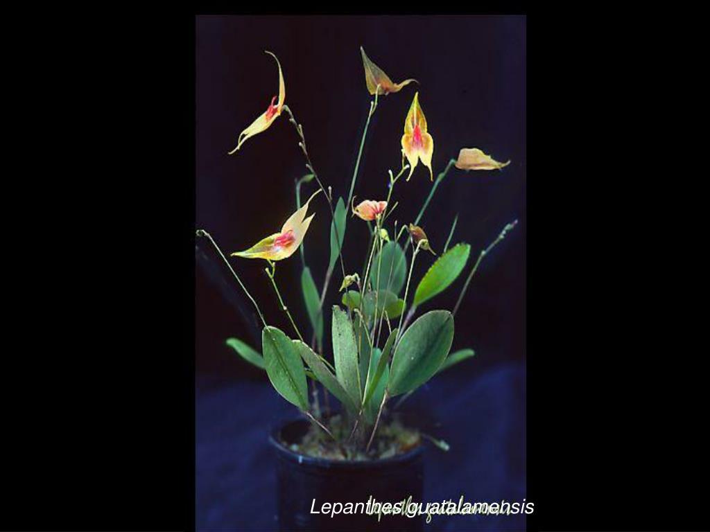 Lepanthes guatalamensis