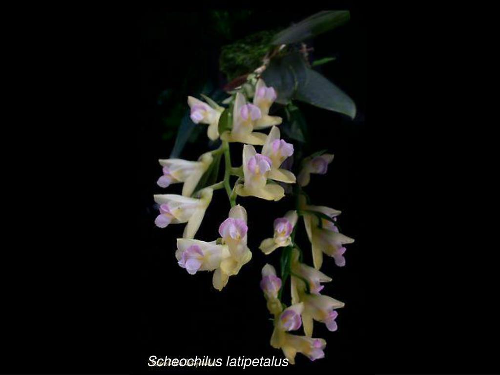 Scheochilus latipetalus