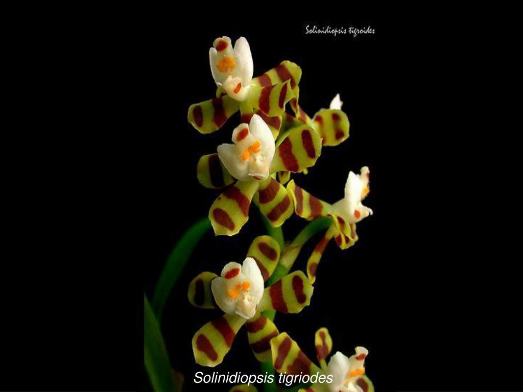 Solinidiopsis tigriodes
