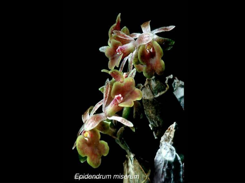 Epidendrum miserum