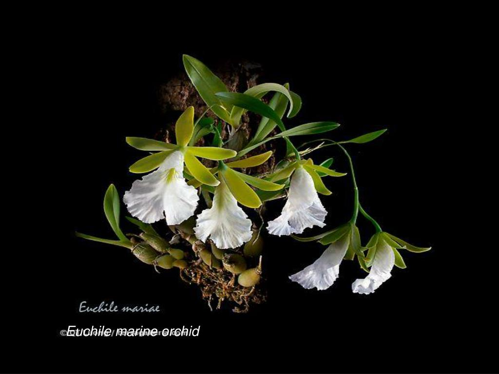 Euchile marine orchid