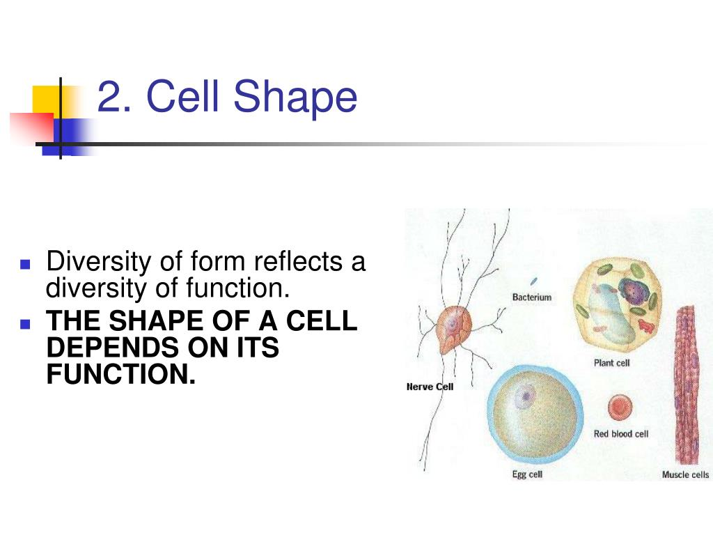 2. Cell Shape