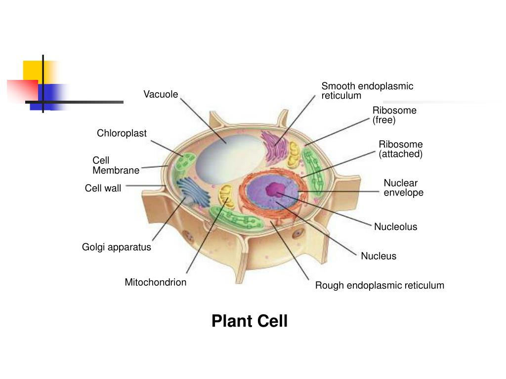 Smooth endoplasmic