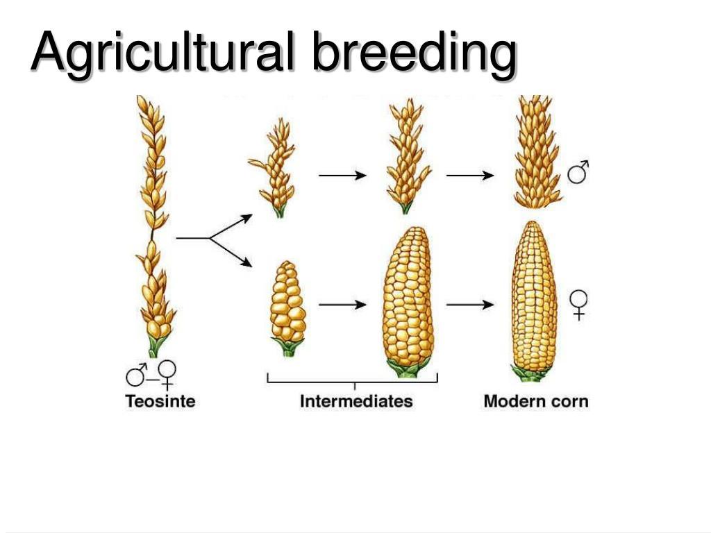 Agricultural breeding