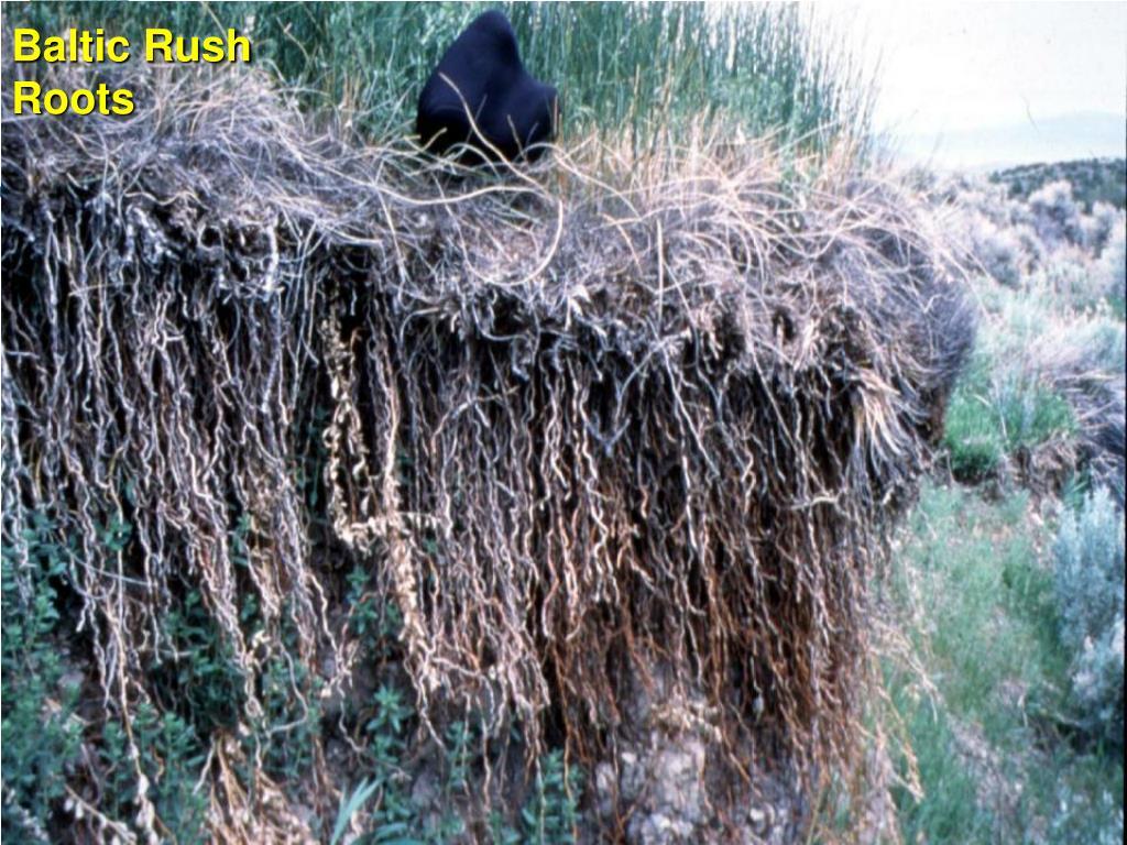 Baltic Rush  Roots