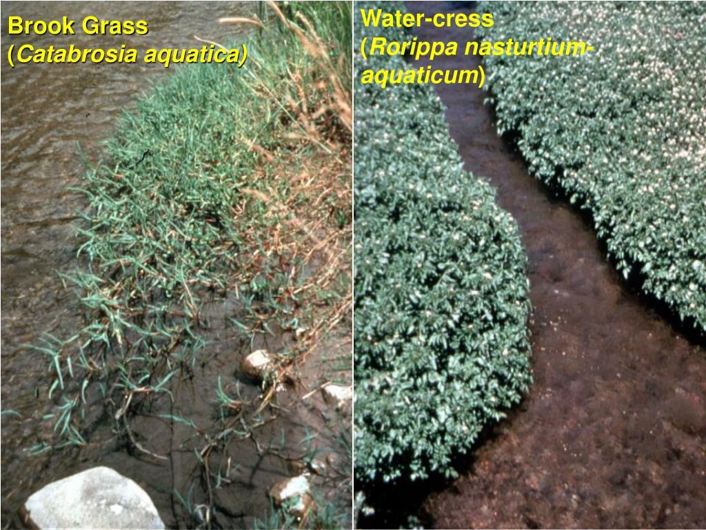 Water-cress