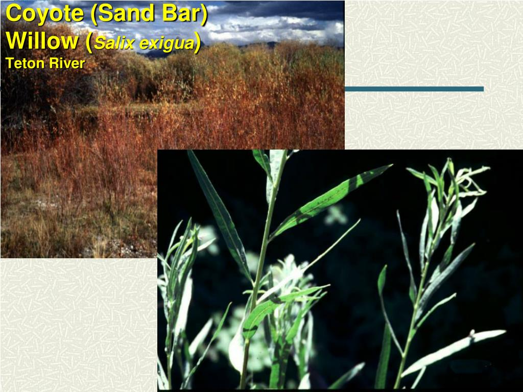 Coyote (Sand Bar) Willow (